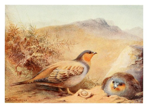023-Urogallo de la arena-Egyptian birds for the most part seen in the Nile Valley (1909)- Charles Whymper