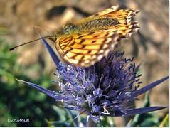 Preparada para volar (murill@) Tags: asturias mariposa cardo piloa