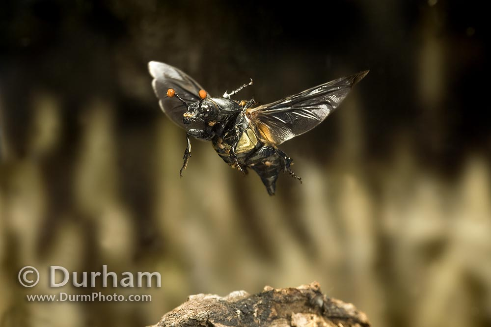 carrion beetle in flight