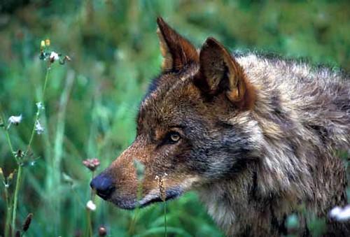 Primer plano de un lobo