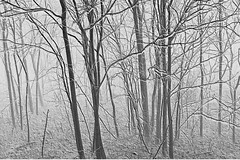 the wistful whispering of winter woods (spysgrandson) Tags: trees winter mist fog digital woods texas grove bare sony monotone negative wichitafalls barren sonycybershot wistful saplings spysgrandson lakewichitapark 021910 wistfulwhispering whisperingwinterwoods