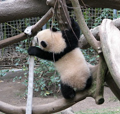 Yunior's jungle gym (bob2cleo) Tags: bear cub panda endangered sandiegozoo baiyun sunbear sulin yunzi yunior sandiego0210 endangererd