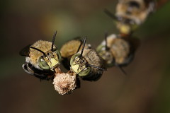 Lots of sleeping eyes (kasia-aus) Tags: nature insect bees australia bee canberra roosting act melba 2010 bluebanded anthophoridae amegillacingulata