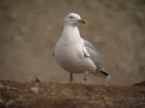 Wing-tagged Herring Gull