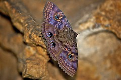 Granny's Cloak Moth, Speiredonia spectans roosting in a sandstone cave. (Andy Burton Oz) Tags: fauna moth sydney australia lepidoptera nsw noctuidae catocalinae animalia arthropoda invertebrate willoughby insecta castlecove hexapoda middleharbour afsvrmicronikkor105mmf28gifed noctuoidea nikond40 aperture214 speiredomaspectans guenee1852 speiredoma