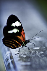 ((  Jennifer  )) Tags: winter butterfly michigan meijergardens kentcounty dorislongwing heliconiusdoris