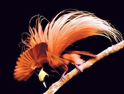 Birds of Paradise New Guinea4