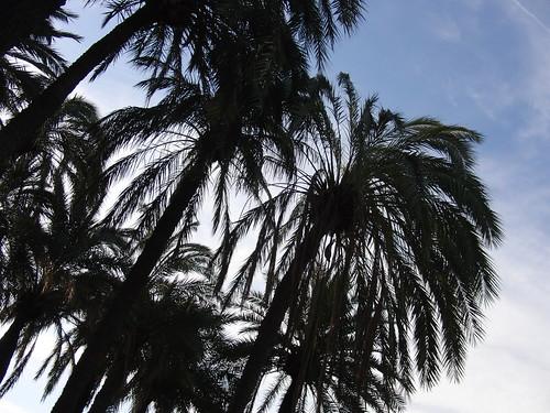 anatomía del parque de la victoria de jaén: palmeras