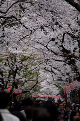 Ueno Park Spring 2010 (Takanyo) Tags: japan digital canon cherry eos tokyo spring jp  cherryblossom sakura  ef70200mmf4l nyo masamitsu takano  ef70200mm  eos5d ef702004   5dmarkii 5d2 5dmark2 5dmark takanyo  takanyocom