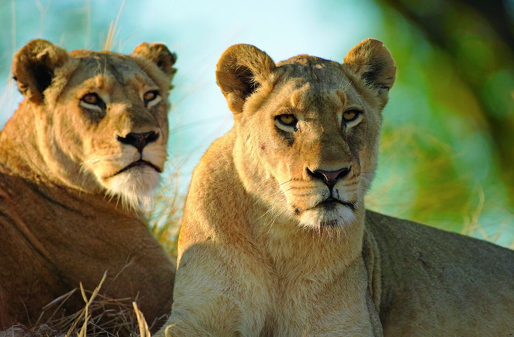 Lions at Singita Kruger National Park