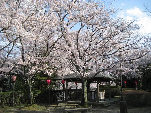大竹 亀居公園 桜 画像 19