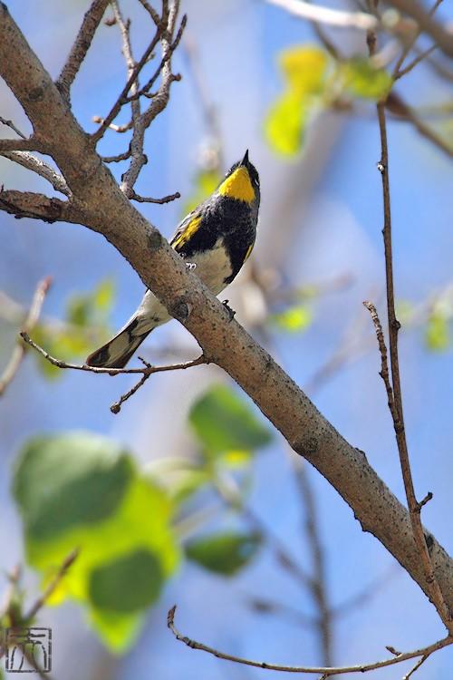 Yellow-rumped Warbler 04101-2