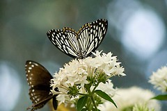 Common Mime (smnach) Tags: nature butterfly commonmime