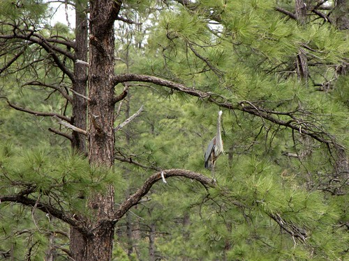 Blue Heron at Granite Basin Lake