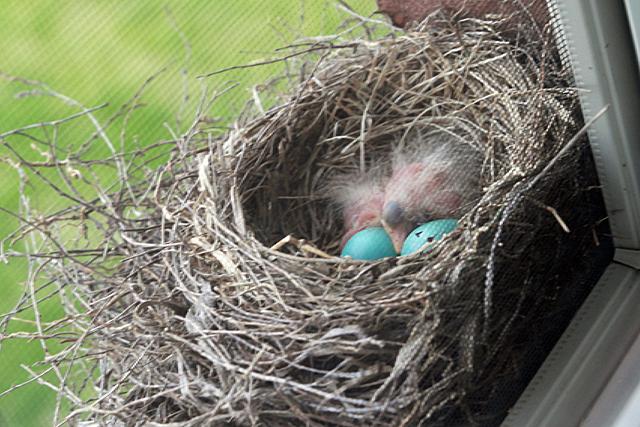 baby birds - apr 23
