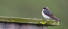 _53F5229 Tree Swallow (female) (~ Michaela Sagatova ~) Tags: nature rain female dundas treeswallow tachycinetabicolor michaelasagatova