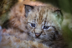 New to the world (CecilieSonstebyPhotography) Tags: 4weeksold canon canon5dmarkiii ef100400mmf4556lisiiusm eurasianlynx gaupe july langedrag lynx lynxcub lynxkitten markiii norway norwegian adorable animal cat catfamily catportrait closeup cub cute ears eyes nose portrait tiny tinyeartufs whiskers young specanimal ngc npc