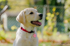 Trixie girl. #puppy #lab #dog #yellowlab (Sweet Cedar Photography) Tags: puppy lab dog yellowlab 2016 trixie