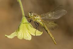 Immature (jrosvic) Tags: dragonfly sympetrumfonscolombii libélula libellulidae odonato odonata anisoptera anisoptero entomologia entomology immature redveineddarter cartagena elalgar murcia spain closeup macro freehand nikond7100 nikon60mm28dmicro
