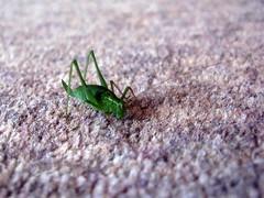 Tettigoniidae (Euphronia) Tags: cricket katydid tettigoniidae