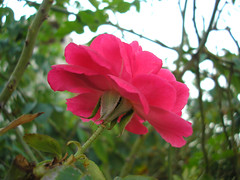 Rose for You! (Imran Khan - Always Pakistan First) Tags: life morning pakistan cute me self fun amazing nice fantastic day moody superb sweet sunday great experiment happiness shy super hype estrellas excellent pakistani muslims lovely yesterday pure greetingcard pura lahore unforgettable enjoyment pleasant polite lonliness peacful salmiya everlasting friendy countless dedicate sialkot educated neika mangaf imrankhan tensions goodafternoon zeeimran420 jugnoo aplusphoto creativezee patchup  rosecolors darogawala bluewinx15  25102009 itgavemelotofpleasureotherwiseigottoomuchtensionabtexams thanksssssssssssitslovely soniceofu