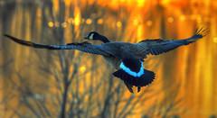 Sundown Goose (ozoni11) Tags: sunset bird nature birds animal animals geese interestingness nikon sundown goose explore waterfowl canadagoose canadageese 139 columbiamaryland noiseware tonemapping interestingness139 i500 michaeloberman explore139 ozoni11