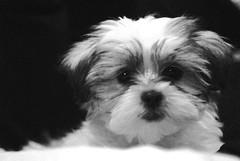 shitzu maltese puppy named buddy 2 (houstonryan) Tags: dog white black cute art puppy print poster photography utah photo mutt mix puppies ryan houston canine buddy cutie photograph maltese shitzu utahn houstonryan