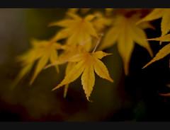Ouro Laranja (Bs0u10e0) Tags: autumn fall 50mm leaf maple nikon october bokeh f18 2008 autumnal 50mmf18 d80 nikond80