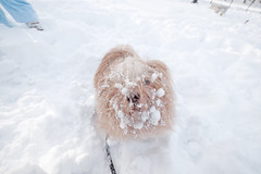 snowstorm (Charley Lhasa) Tags: nyc winter dog snow storm fall weather boots centralpark snowstorm flurries maren snowfall blizzard booties winterstorm winterweather lhasaapso gf1 blizzard09 charleylhasa file:original=raw software:adobe=lightroom iso:speed=100 blizzard2009 snow2009 flash:used=noflash metering:mode=pattern program:mode=aperturepriority ev:adj=1ev exposure:setting=secatf40 roll:number=0042 image:crop=uncropped camera:panasonic=dmcgf1 focal:length=7mm lens:panasonic=7144 image:number=1010991 date:taken=091220142927 date:uploaded=091221233452 set:name=winter20092010