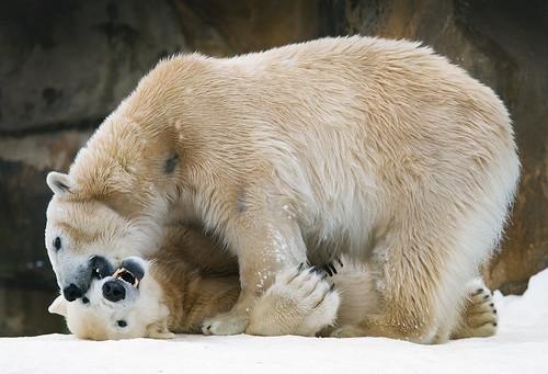 フリー画像| 動物写真| 哺乳類| 熊/クマ| シロクマ| クヌート| ジャンナ| 恋人/カップル|    フリー素材|