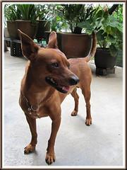 Our miniature pinscher, Maxi, a Sentinel at the backyard!