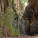 Tree healing, Azalea Picnic Area