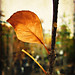January 16, 2010: How beautifully leaves grow old. How full of light and color are their last days