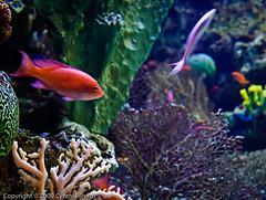 Tropical Colors - Aquarium of the Pacific (csmith01964) Tags: ca fish coral aquarium nikon colorful underwater longbeach soe tropicalfish aquariumofthepacific d300 aop aworldofbeauty