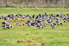 Brent Geese (Gerard Knight) Tags: field grass birds geese feeding brent visitors seahawk irishcountryside