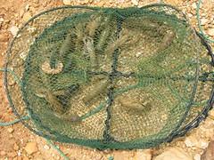 yabbies in net