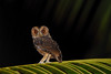 Mentawai Scops Owl (Otus mentawi) (Bram Demeulemeester - Birdguiding Philippines) Tags: sumatra indonesia padang siberutisland bramdemeulemeester mentawaiscopsowl otusmentawi