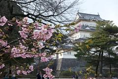 Castle and Flowers (doubt72) Tags: flower japan  odawara ume kanagawa plumblossom    odawaracastle
