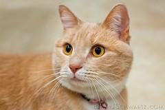 A New Feline Friend (Barry J. Schwartz) Tags: cat canon eyes orangecat bokeh kitty yelloweyes 50l 5dmkii 5dmk2 barryjschwartzcom