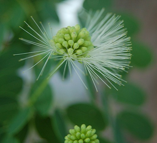 White powderpuff blossoms of shaggy barked Lysiloma sabicu
