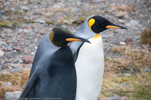 Black King penguin next to normal King penguin