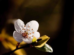 Spring blossom (Steve-h) Tags: ireland dublin sun sunlight white flower tree nature leaves sunshine spring dof bokeh springtime musictomyeyes steveh flickraward canoneos500d platinumheartaward awesomeblossoms platinumandgolddoubledragonawards doubledragonawards canonef100mmf28lmacroisusmlens