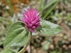 Gomphrena serrata L. (carlos mancilla) Tags: flowers flores macro madroño amorseco wonderfulworldofflowers olympussp570uz amordesoltero gomphrenaserratal