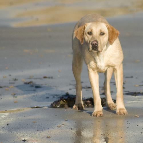 Labrador #1