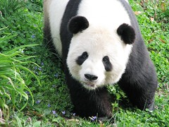 Did You Bring Me An Easter Basket? (Tai.Shar) Tags: nationalzoo giantpanda tiantian