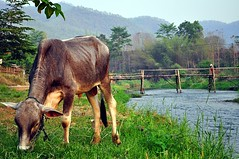 pai river (Dave_B_) Tags: bridge nature water animals river thailand cow nikon asia seasia eating farming east health backpacking thai local farmer orient pai sout d90 5photosaday worldtour2010