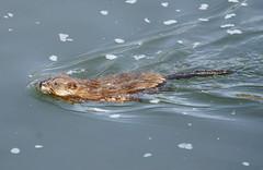 hot wet young beaver (scottcsmith) Tags: wet water animal animals closeup naked fur spring furry sony young beaver nystate scottsmith stiglmeierpark cheektowagany lossonpark scottsmith14227 sonyalpha550 alpha550 naturephoto63
