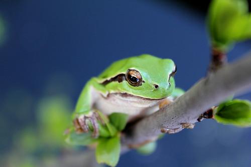 フリー画像| 両生類| 蛙/カエル| アマガエル|        フリー素材|