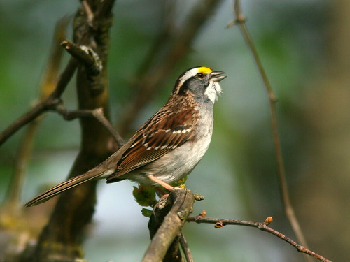 White-throated Sparrow 20100419