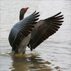 Faire bravo avec les ailes !